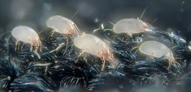 House dust mites picture high resolution