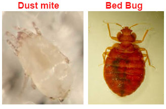dust mite vs bed bug