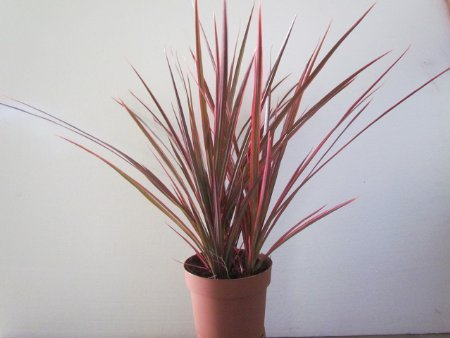 Dracaena-Marginata-Colorama-Tri-color-Houseplant