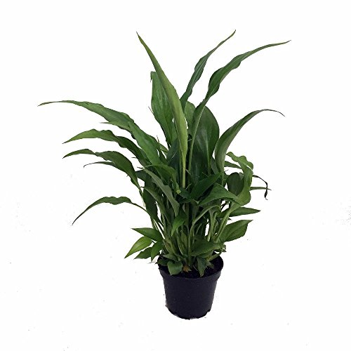 Peace-Lily-Plant-Spathyphyllium-Great