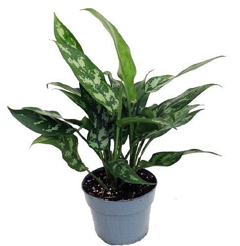 /Maria-Chinese-Evergreen-Plant-Aglaonema